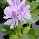 Водный гиацинт. Эйхорния (толстоножковая)