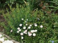 Ива черничная (Salix myrtilloides)
