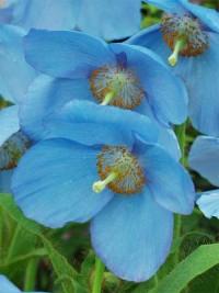 Меконопсис буквицелистный (голубой мак,гималайский мак)