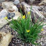 Сисюринхий Калифорнийский (желтый)