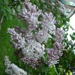 Сирень венгерская светло-розовая