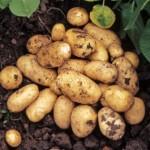 Картофель Адретта (среднеранний)
