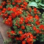 Лапчатка кустарниковая Ред Айс