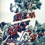 Смородина красная Уральский сувенир