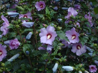 Гибискус сирийский  ( кетмия, сирийская роза)