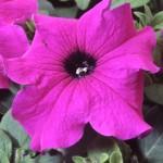 Петуния фиолетовая