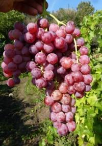 Виноград Флэйм сидлисс (пламя бессемянное)