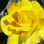 Роза Золотые ливни (Голден Шоверс)