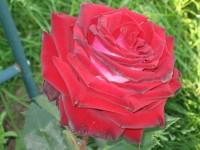 "Роза ""Госпель"""