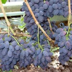 Виноград Кодрянка (столовый)