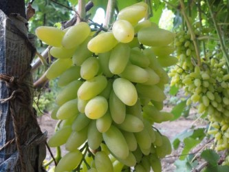 Виноград Тимур  (столовый)