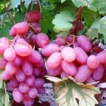 Виноград Виктор (столовый)