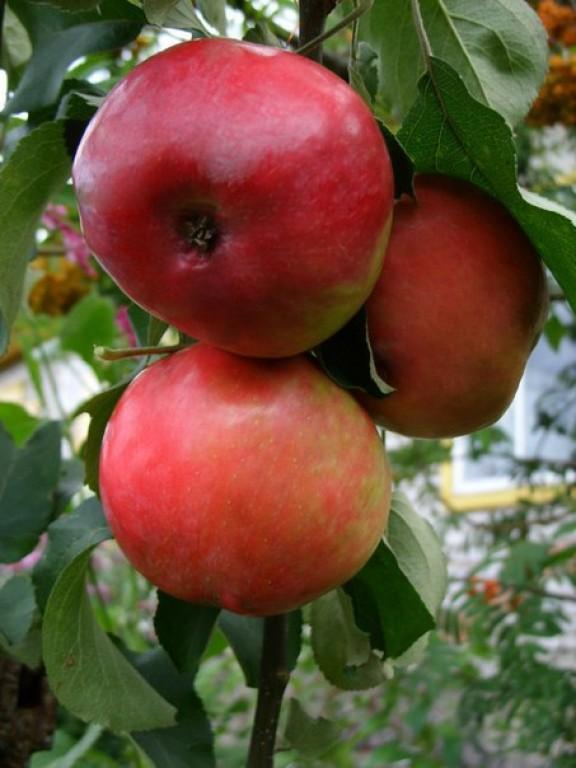 Яблоня июльское черненко (в коробке) (раннелетний, светло-зелен с темно-малин румянцем и штрихами)
