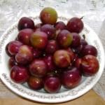 Сливово-вишневый гибрид (СВГ) Майнер