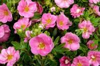 Лапчатка кустарниковая пинк парадиз (розовая)