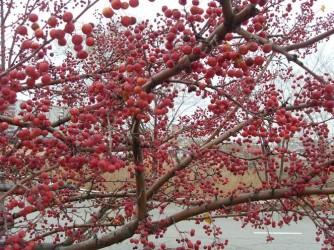 Яблоня Сибирка Пурпурная