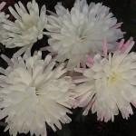 Хризантема мультифлора Викита вайт