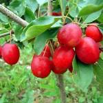 Яблоня декоративная Долго