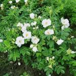 Роза морщинистая  белая (Роза ругоза, шиповник)