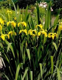 Ирис болотный или желтый