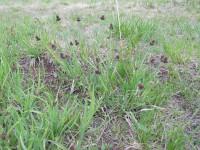 Ситник мечелистный - Juncus ensifolius  (Осока П.Ф 1)