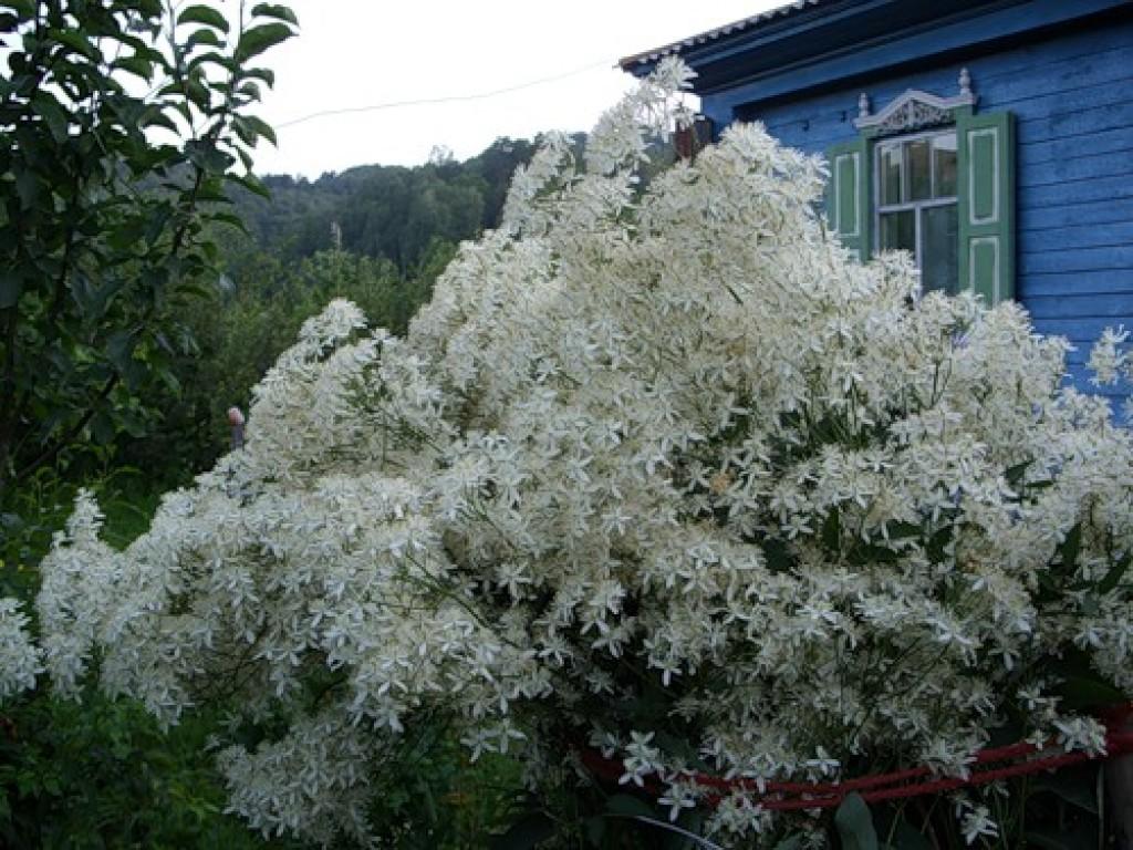 Клематис с мелкими белыми цветами уход и выращивание 44