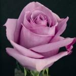 """Роза """"Кулватер"""""""