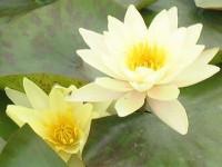 Кувшинка карликовая желтая