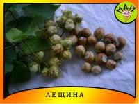 Лещина (лесной орех) Фундук