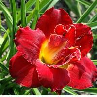 Лилейник (гемерокаллисом и красодневом)