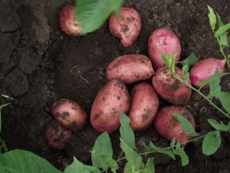 Картофель Любава (ранний) сетка 4 кг.