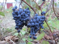 Виноград неукрывной Мариновский