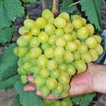 Виноград Галахад (столовый)