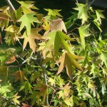Ликвидамбар, Амбровое дерево