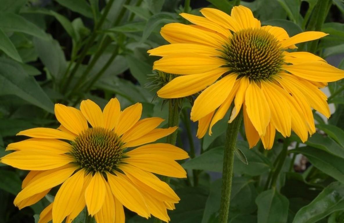 Цветок эхинацея жёлтая фото