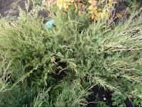 Можжевельник казацкий (Алтайская природная форма)