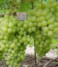 Виноград Лора (столовый)