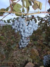 Виноград неукрывной Нетеринский