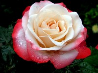 "Роза ""Ностальжи"""