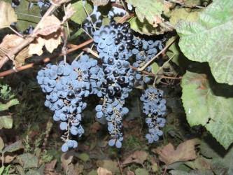 Виноград неукрывной Оленьевский
