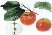 """Яблоня крупноплодная """"Осенняя радость"""""""