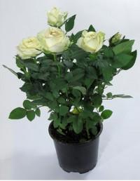"""Роза """"Патио"""" (белая)"""
