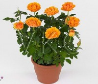 """Роза """"Патио"""" (оранжевая)"""