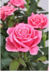 """Роза """"Патио"""" (розовая)"""