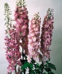 Дельфиниум высокий  лилово-розовый с белым