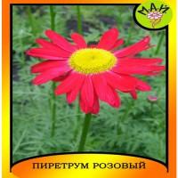 """Персидская ромашка (пиретрум) """"Красная"""""""