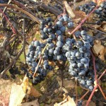 Виноград неукрывной Первенец Амура