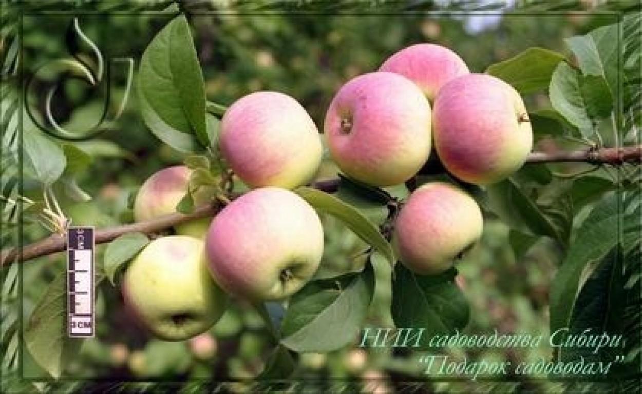 Сорт яблони подарок садовода с