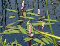 Горец земноводный ПФ (щучья трава, водяная гречиха)