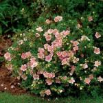Лапчатка кустарниковая розовая